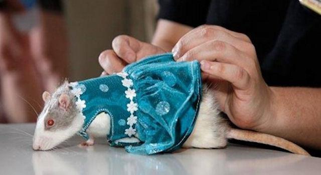В Казани прошла выставка декоративных крыс