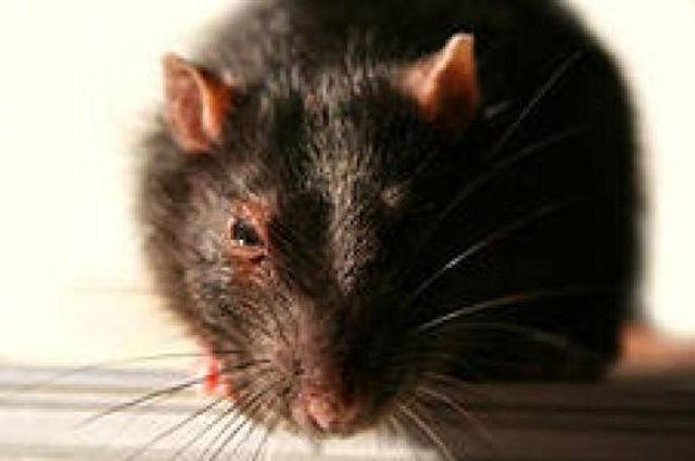 В Казахстане крысы медленно, но верно мутируют