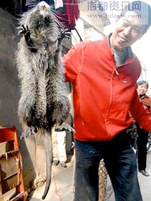 В Китае поймали крысу, размеры которой достигают кошачьих