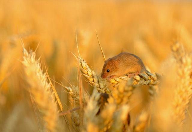 В Кубани мыши вынесли с полей одного из хозяйств региона треть всего зерна