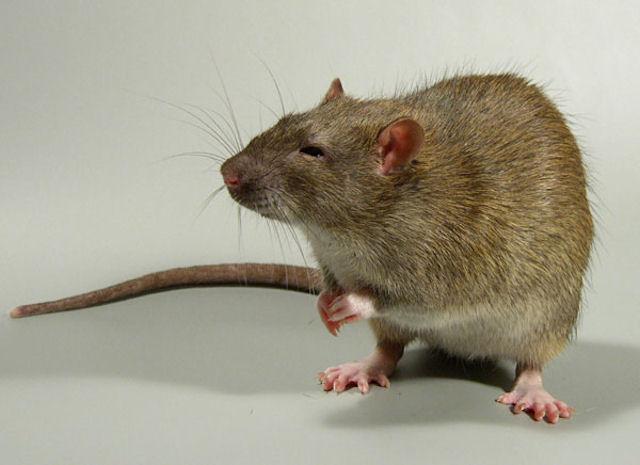 В Липецке крысы атакуют многоэтажное общежитие