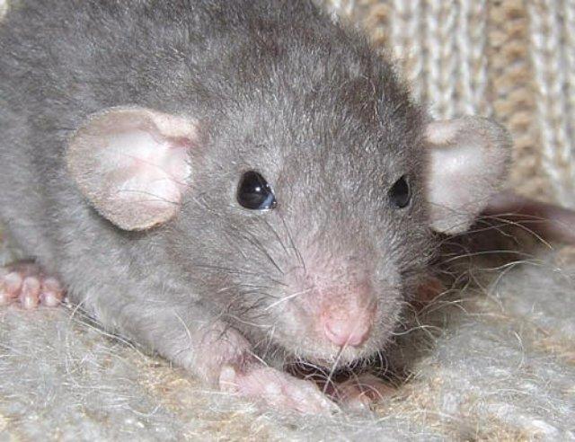 В Москве живёт крыса-алкоголик