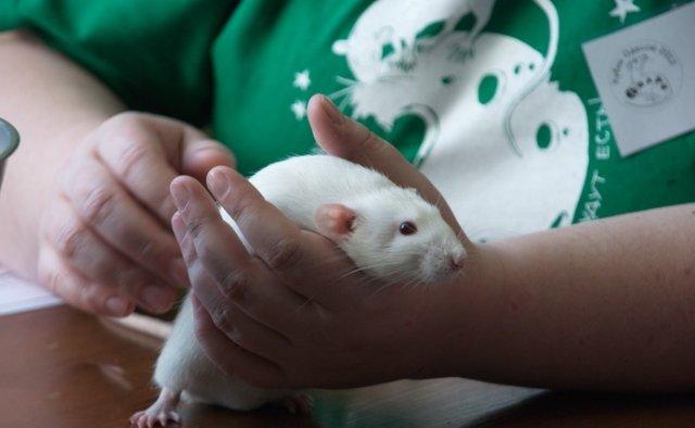 В Николаеве крысы стали выставочными образцами