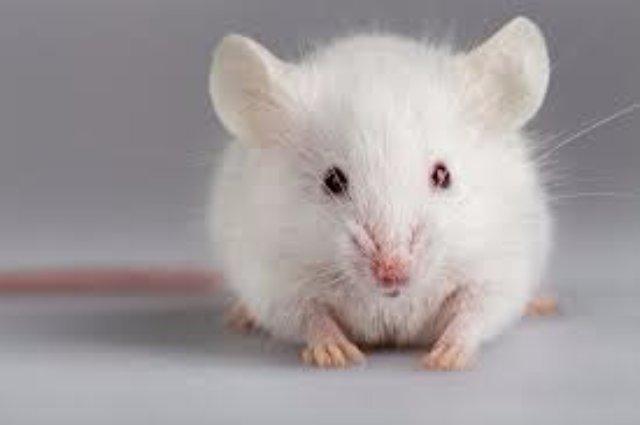 В одном из домов Барнаула поселилась белая крыса