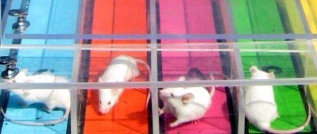 В Перми провели мышиные бега