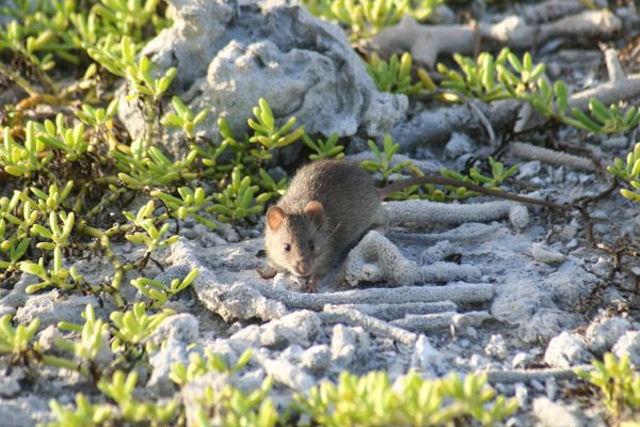 В Перу обнаружили новый вид грызунов