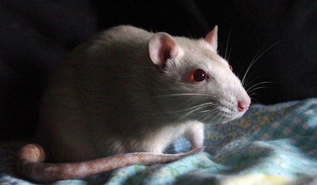 В Приморье крысы гостят на дачных участках