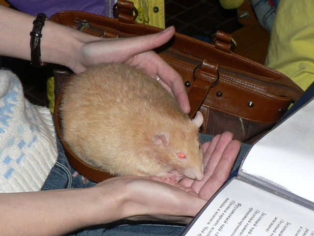В США крысы едва не съели историческую ценность