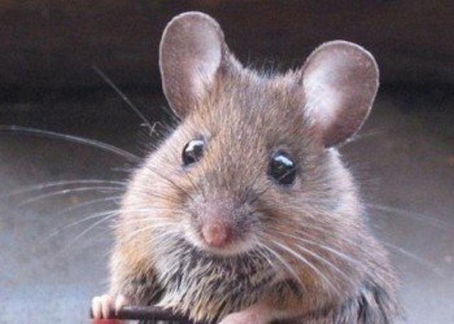 В США наркоманы угнали грузовик с мышами
