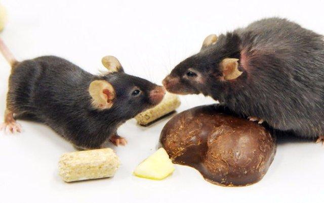 В США вывели мышей-анорексичек