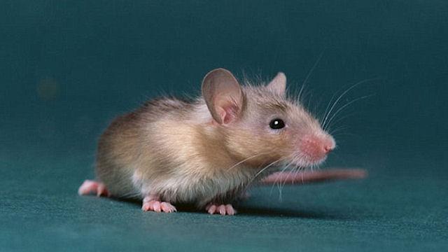 В Ставрополе крысу арестовали за хозяйские долги