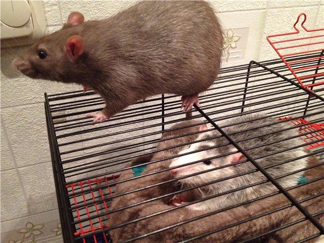 В Туле выбрали супер крысу