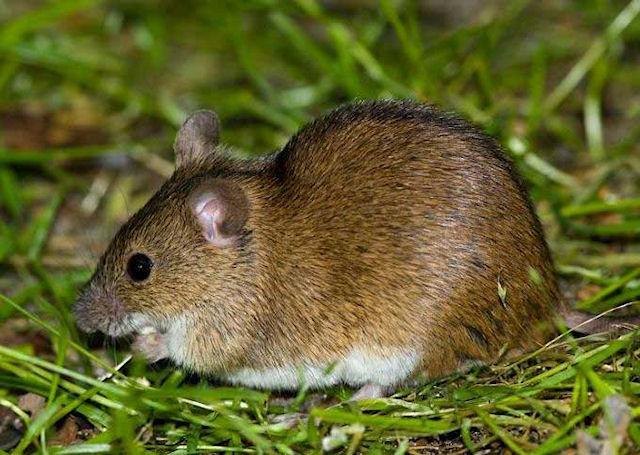 В Украине уменьшилось количество полевых мышей