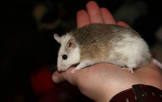 В Ульяновске завелись многососковые крысы