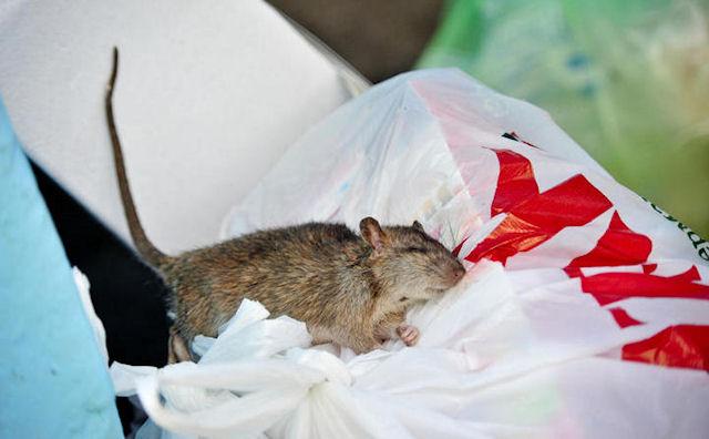 В Вешняках орудуют крысиные банды