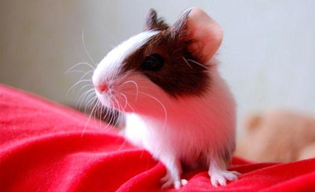 В Воронеже выбрали самую длиннохвостую крысу