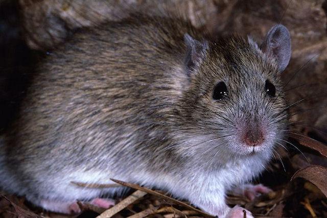 В Хабаровске будут массово травить расплодившихся крыс