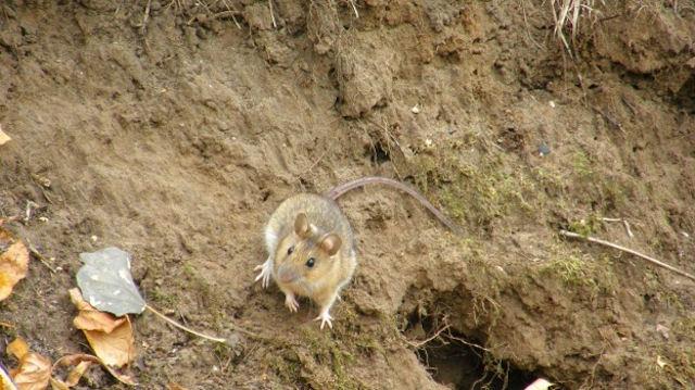 В Хоперском заповеднике поймали более 400 мышей