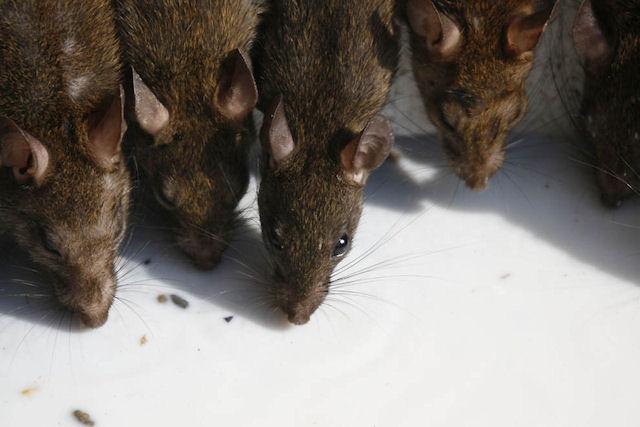 В южноуральском СИЗО №3 крысы и тараканы соседствуют с заключенными