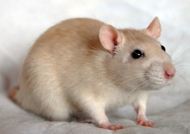 В зоомагазине мышь напала на девочку