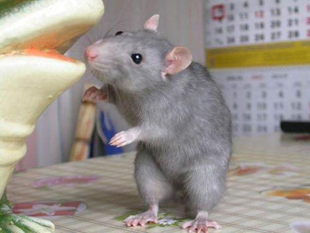 Венгерские мыши станут работниками службы безопасности