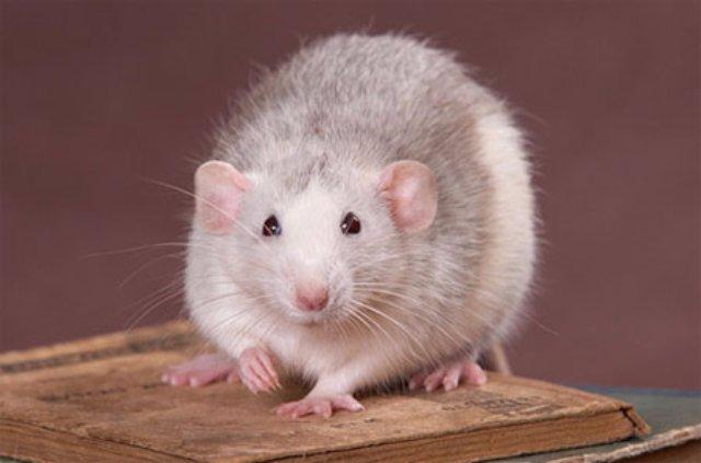 «Весёлая» гибель питерских крыс