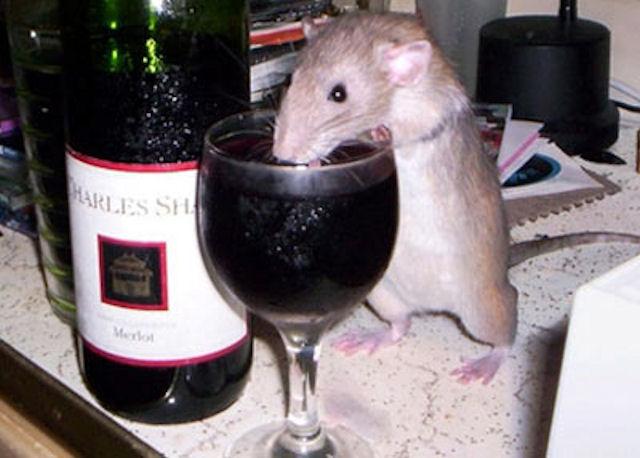 Вьетнамские крысы стали алкоголиками