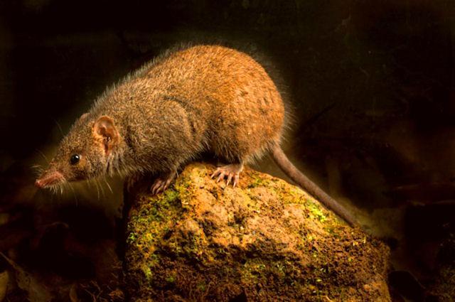 Ученые обнаружили новый вид мышей в Австралии