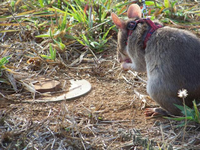 Во Флориде изучают феномен гигантских крыс