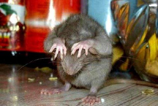 Воронежцы выберут самую длиннохвостую крысу