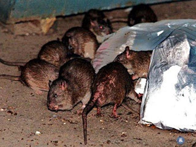 В Нью-йоркском метро выбрали самую страшную крысу
