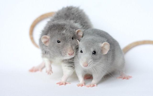 В Казани пройдет выставка крыс