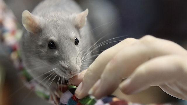 Выставка крыс в Одессе