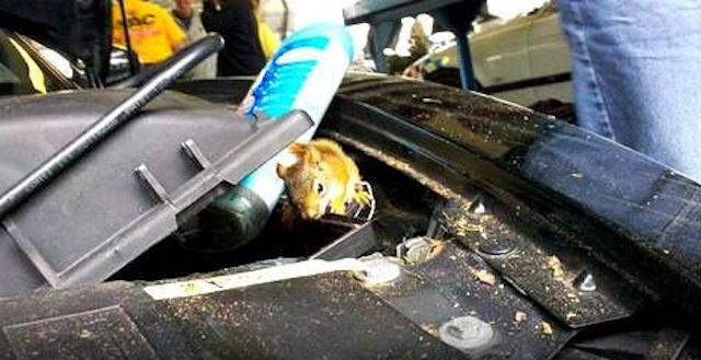 Выяснена причина, по которой грызуны любят автомобильные провода