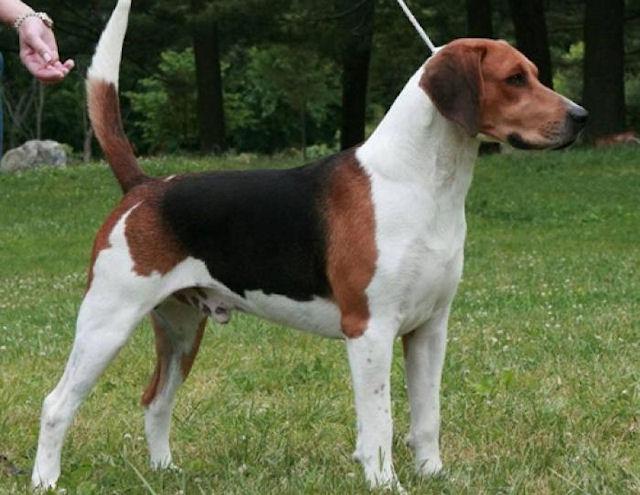 Харьер - уникальная порода собак