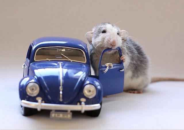 Японских крыс учат управлять автомобилем с помощью мысли