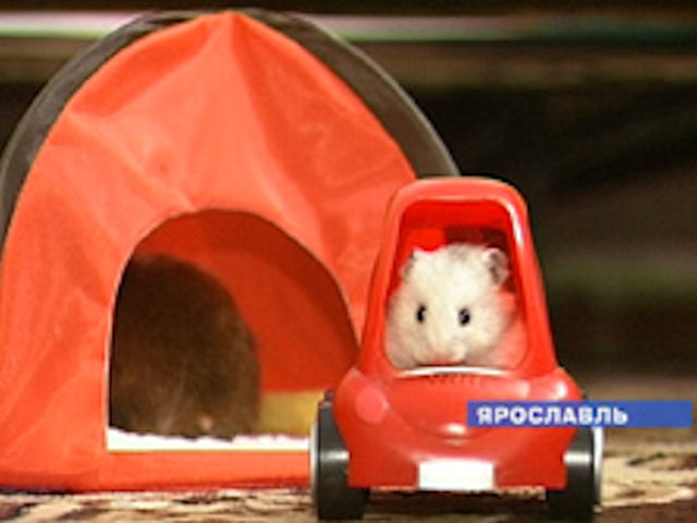 Ярославские мыши готовятся к выставке, как модели к показу