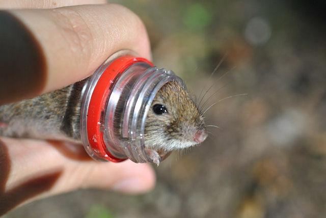 Жадная мышка стала заложницей бутылки