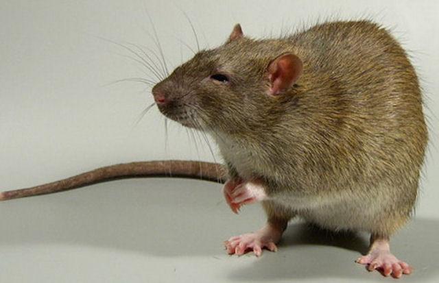Жестокая мать заставила сына убить крысу