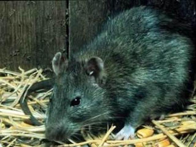 Жительница Владивостока заразилась крысиной болезнью
