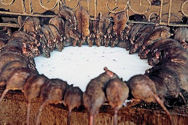 Жителям Осло угрожает популяция крыс