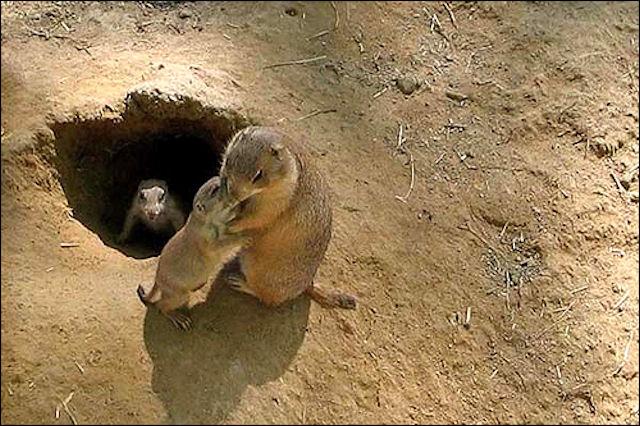 Жителями древних Анд были колючие крысы