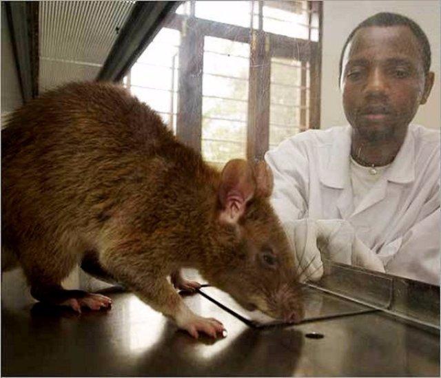 Жителями Индонезии были гигантские крысы