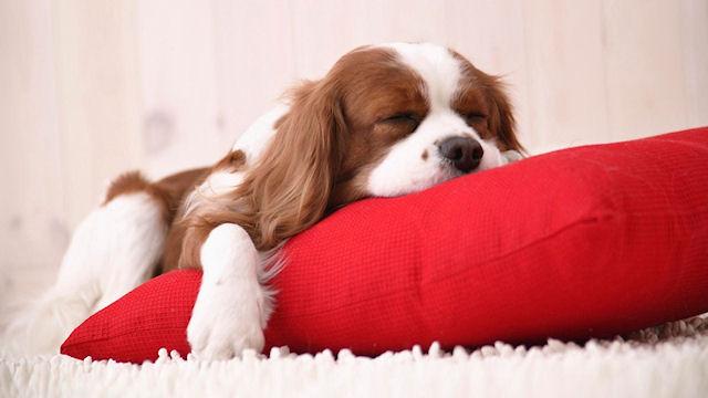 Жизнь собаки в квартире