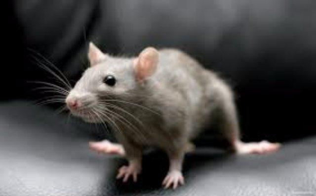 Голубика и шпинат идут на пользу крысам