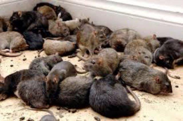 Пожилые крысы испытывают проблемы с биологическими часами