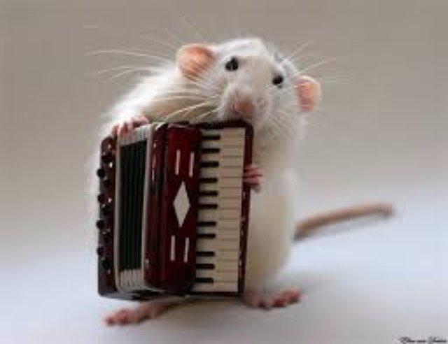 У крыс есть музыкальный вкус