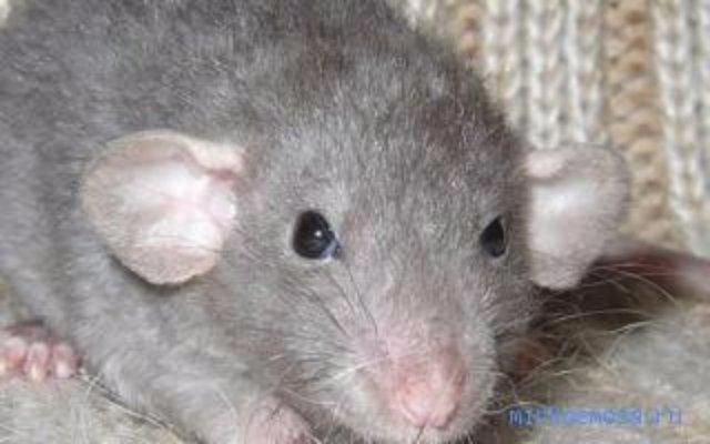 Крысам полезен куриный бульон