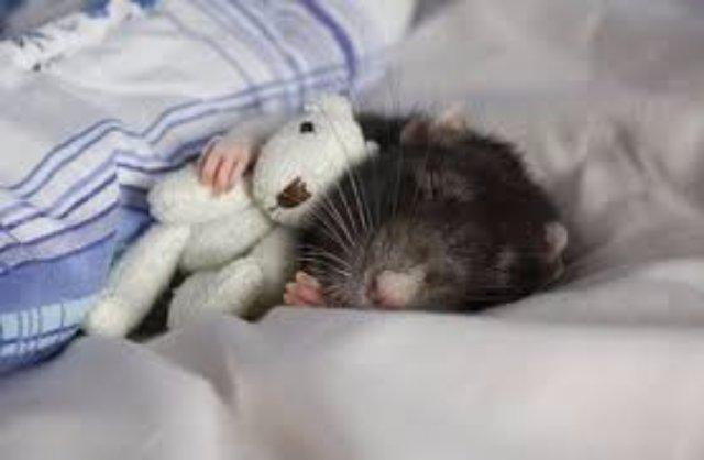 Крысам снятся страшные сны
