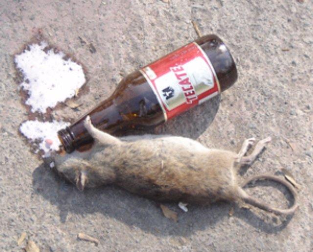 Умные крысы часто становятся алкоголиками